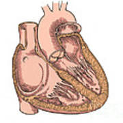 Illustration Of Heart Anatomy Poster