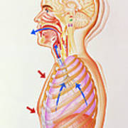 Illustration Of The Exhalation Phase Of Coughing Poster