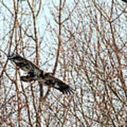 Immature Bald Eagle Flying Poster