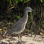 Immature Blacked Crowned Night Heron Poster