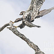 Immature Eagle At Play Poster