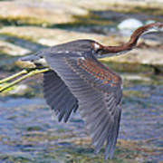 Immature Tricolored Heron Flying Poster