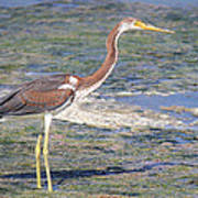 Immature Tricolored Heron Standing At High Tide Poster