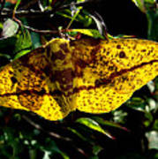 Imperial Moth Din053 Poster