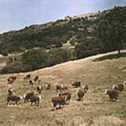 In A Pasture Near Pleasanton Hereford Poster