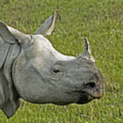 Indian Rhinoceros Poster