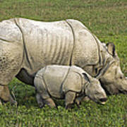 Indian Rhinoceroses Poster