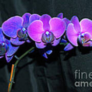 Indigo Mystique Orchids  Poster