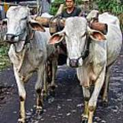 Indonesian Bovine Cart Poster
