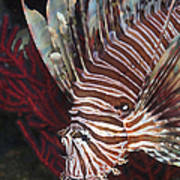 Indonesian Lionfish On A Wreck Site Poster