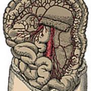 Inferior Mesenteric Artery And The Aorta Poster