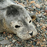 Injured Harbor Seal Poster by Ted Kinsman
