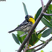 Inquisitive Yellow Throated Warbler Poster