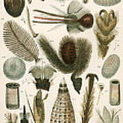 Insect Microscopy, 19th Century Poster