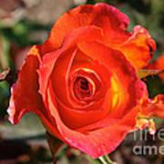 Intense Rose Poster
