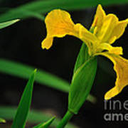 Iris In Yellow Poster