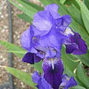 Iris Of Taos Poster
