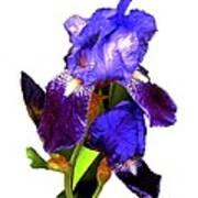 Iris On White Poster