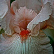 Iris Orange Beard Poster