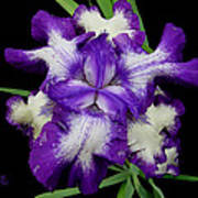 Iris Unfolded Poster