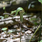 Jack-in-the-pulpit Poster