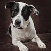 Jack Russell Terrier On A Brown Studio Poster