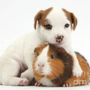 Jack Russell Terrier Puppy And Guinea Poster