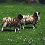 Jacob Sheep Poster