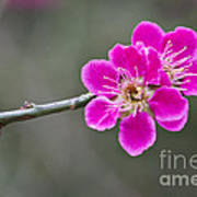 Japanese Flowering Apricot. Poster