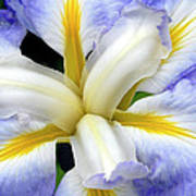 Japanese Iris Poster