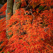 Japanese Maple In Autumn Poster