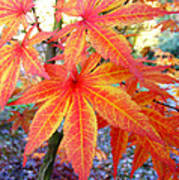 Japanese Maple Leaves 13 In The Fall Poster