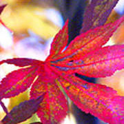 Japanese Maple Leaves In The Fall Poster