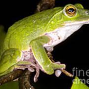 Japanese Rhacophoprid Frog Poster by Dante Fenolio