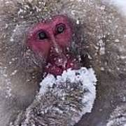 Japanese Snow Monkey Poster
