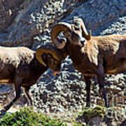 Jasper - Bighorn Sheep Poster