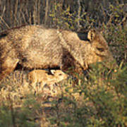 Javalina And Baby Poster