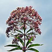 Joe-pye Weed Wildflower - Eupatorium Poster