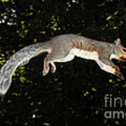 Jumping Gray Squirrel Poster by Ted Kinsman
