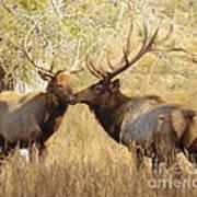 Junior Meets Bull Elk Poster by Robert Frederick