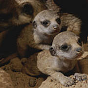 Just Waking Up, Two Meerkat Pups Poster
