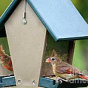 Juvenile Cardinals On Feeder Poster