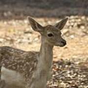 Juvenile Deer Poster