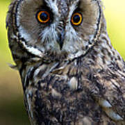 Juvenile Long Eared Owl Poster