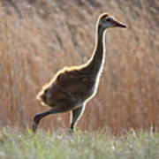 Juvenile Sandhill In The Marsh Poster