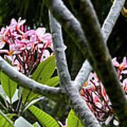 Kalachuchi Flowers Poster