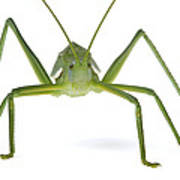 Katydid Silaka Nature Reserve South Poster