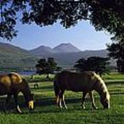Killarney,co Kerry,irelandtwo Horses Poster
