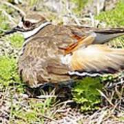 Killdeer Broken Wing Act Poster by Lynda Dawson-Youngclaus