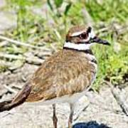 Killdeer Pose Poster by Lynda Dawson-Youngclaus